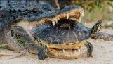 Alligator Attempting To Eat A Turtle