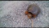Алигаторова костенурка атаки