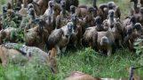 Griffon kastet liket av en antilope