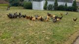 Συναγερμός για κότες