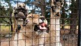 Orana वन्यजीव पार्क शेर अनुभव