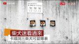 3 Shiba Inu dogs behind a wall