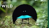 A new species of beautiful Vogelkop bird