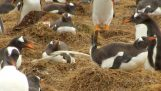 Learn how much penguins can poop