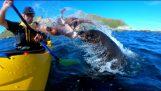 Bir mühür ahtapot kayaker saldırır