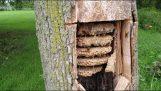 מושבת צרעה מרשימה בתוך עץ חלול