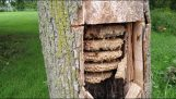 Impressive wasp colony inside a hollow tree