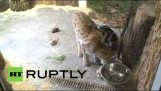 A cat and a lynx: the strange friendship of a Leningrad zoo