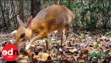 An animal between deer and mouse that was thought to have been extinct, seen again after 30 years