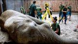 Екстракция на зъб на слон