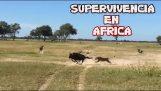 ATAQUES DE ANIMALES SALVAJES EN AFRICA