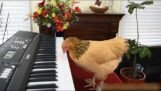 A chicken playing piano