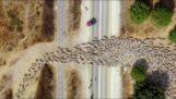 Un drone a filmé des troupeaux de moutons depuis le ciel