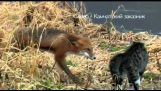 लोमड़ी बिल्ली से मुलाकात