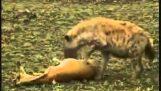 Une Gazelle joue morts et évasions