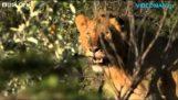 Трима мъже срещу петнадесет лъвове