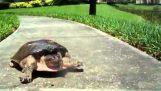 Η χελώνα που νίκησε τον λαγό