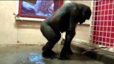 De Gorilla-danser