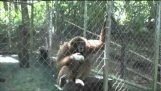 A majom-sziréna