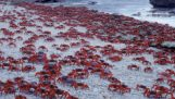 The great invasion of crabs