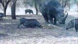 Ο ρινόκερος και ο αγριόχοιρος