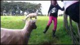 Το πρόβατο εκδικείται