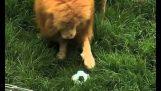 Egy oroszlán, aki szereti a labdát