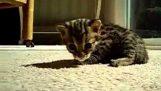 A kis miau leopárd