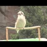 Αν δεν έχετε ξανακούσει ένα Kookaburra…