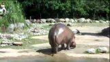 Forkert hippo