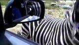 Близки срещи със зебра