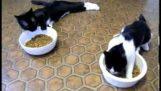 नशे में धुत बिल्लियों