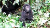 Enojado el pequeño gorila