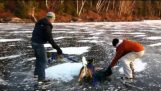 The rescue of a deer from a frozen lake