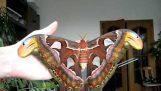 Attacus atlas: Μια μεγαλοπρεπής πεταλούδα