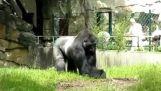 Den indignerade gorillan
