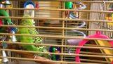 Disco-perroquet