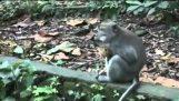 Opice pet