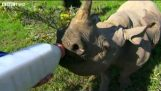 Hrănirea unui rinocer mic