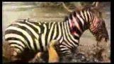 Le zèbre qui ont fui le lion