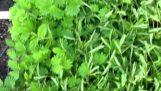 Mimosa pudica: Ένα ευαίσθητο φυτό