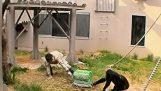 Οι χιμπατζήδες συνεργάζονται με τους ανθρώπους
