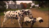 Далматин собака приймає невеликий овець