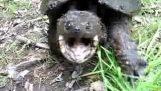 Μια πολύ θυμωμένη χελώνα