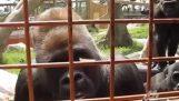 Caterpillar og nysgerrig gorillaerne