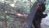 ที่ขูดหมีในป่า;