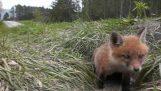 Το ξύπνημα της μικρής αλεπούς