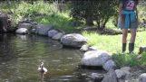 Patos entrando el agua por primera vez