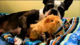 Ο σκύλος και το ινδικό χοιρίδιο
