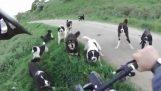 راكب الدراجة النارية ضد 25 كلاب في أمينتايو